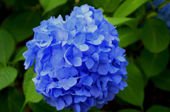 kamerplanten hortensia