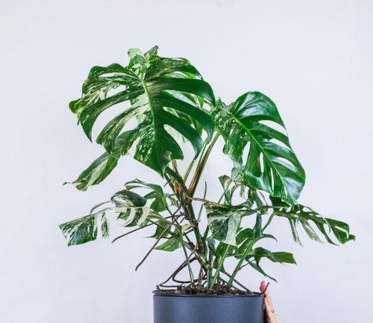 Fascinerende kamerplanten